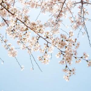 全国の桜を撮影する♪桜ドローンプロジェクトがついに完結!